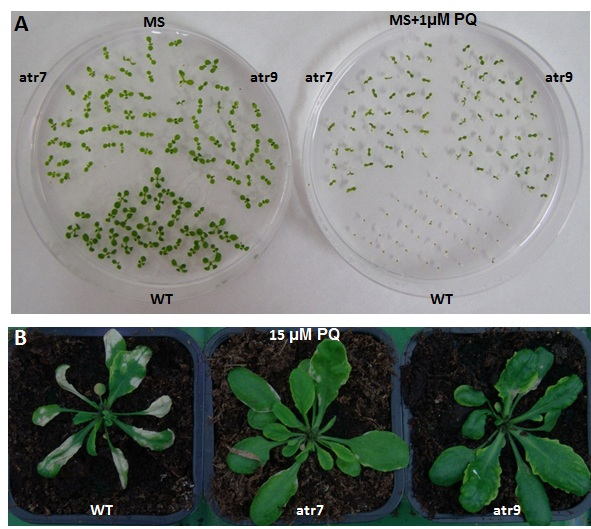Figure 1. The Arabidopsis AAL-toxin-resistant mutants atr7 and atr9 have increased tolerance to oxidative stress generated by paraquat (PQ) compared with the wild type (WT) A. thaliana.